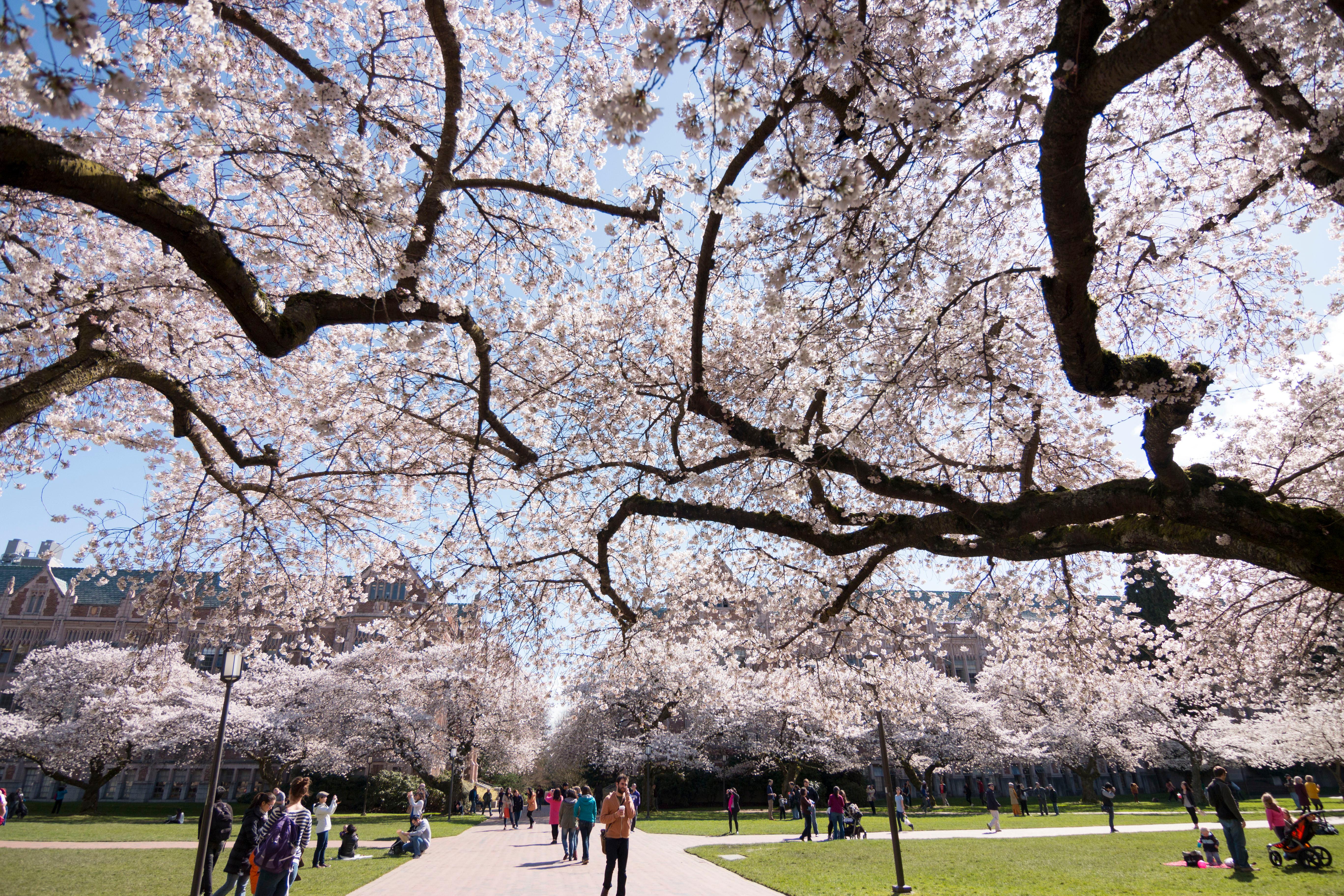 1936, year the Yoshino cherry trees were planted