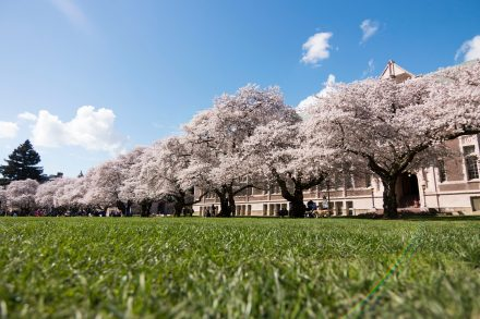 cherry blossoms, number of cherry trees that line The Quad
